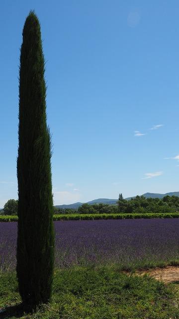 Cypress lavender field lavender.