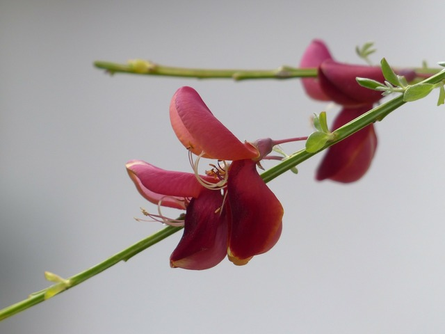 Cytisus scoparius blossom bloom, nature landscapes.