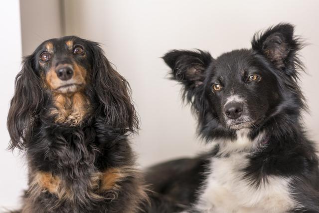 Dachshund collie dogs, animals.