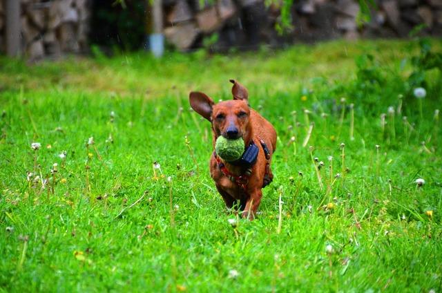 Dachshund dog ball, animals.