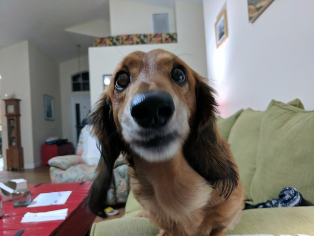 Dachshund dog pet, animals.