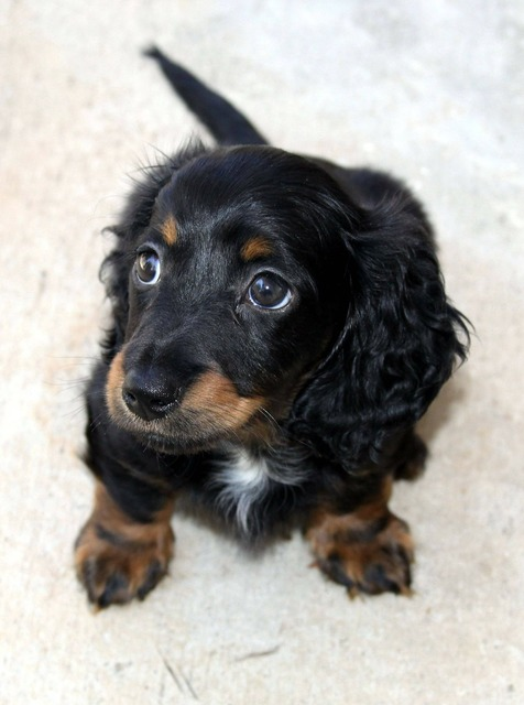 Dachshund long hair puppy, animals.