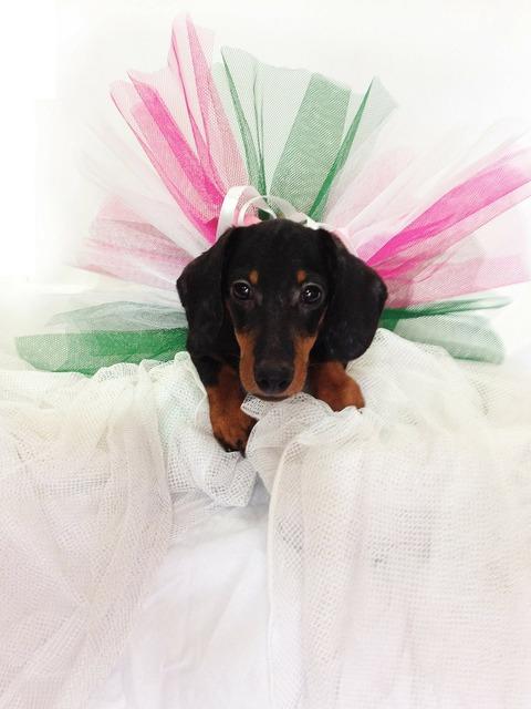Dachshund puppy dog, animals.