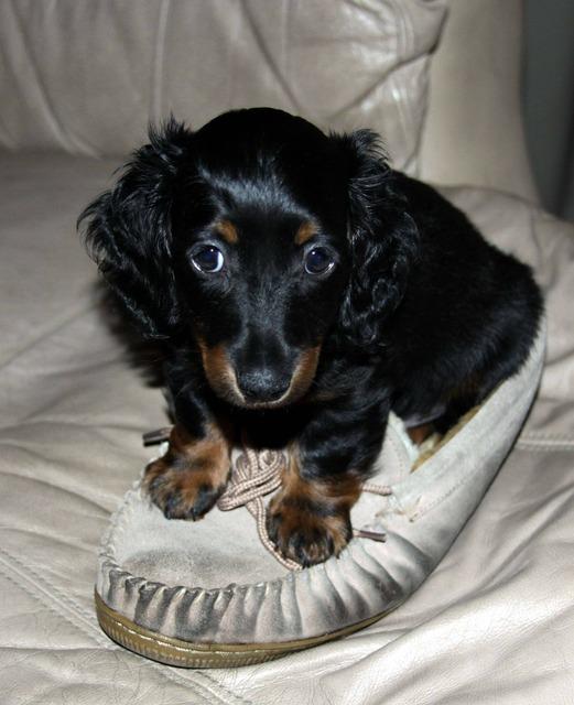 Dachshund puppy long hair, animals.