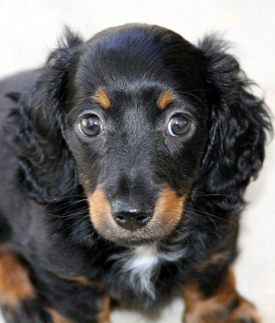 Dachshund puppy mini, animals.