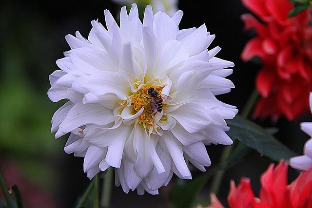 Dahlia floral plants.