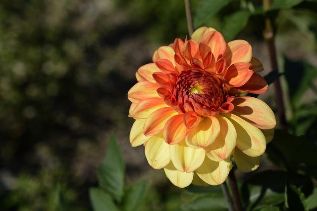 Dahlia flower blossom, nature landscapes.