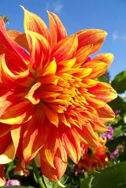 Dahlia giant flower orange flower, science technology.