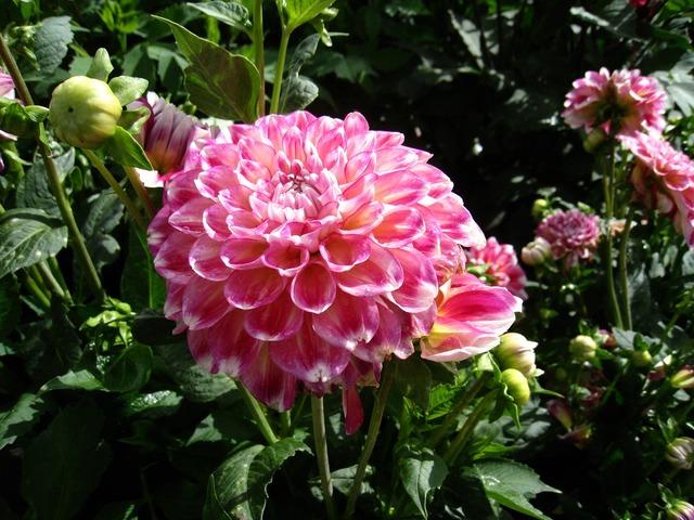 Dahlia summer garden.