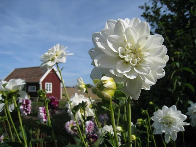 Dahlia white cottage.