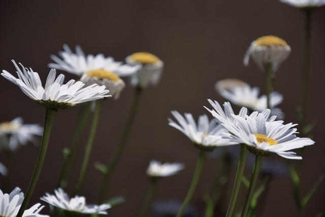Daisies white daisies white flowers.