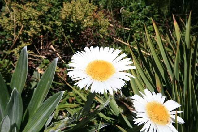 Daisy flower blossom, nature landscapes.
