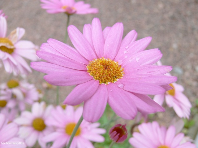 Daisy flower pink.