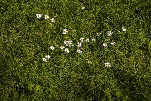 Daisy meadow rush, nature landscapes.