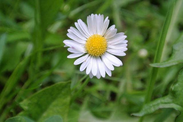 Daisy plant close, nature landscapes.