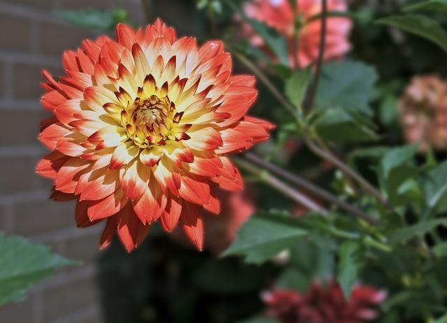 Dalia georgia asteraceae.