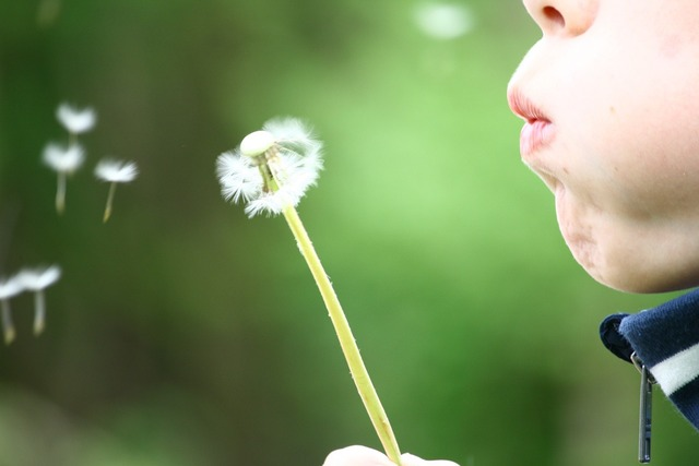 Dandelion blowing childhood.