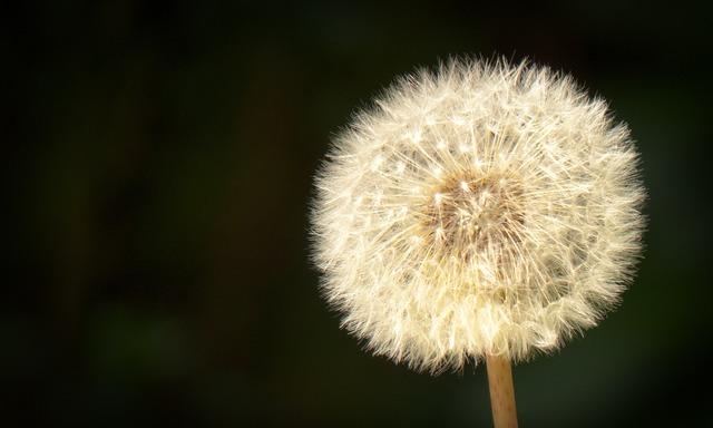 Dandelion close seeds, nature landscapes.
