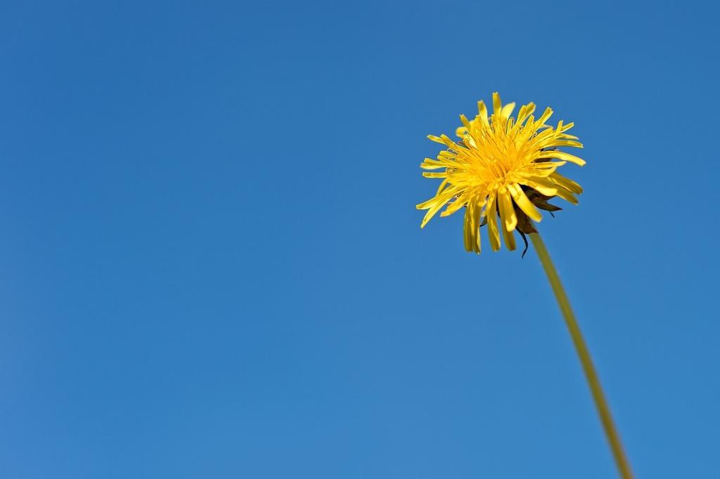 Dandelion flower yellow, nature landscapes.