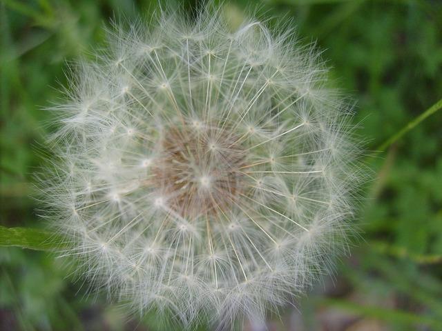 Dandelion fuzz ball, science technology.