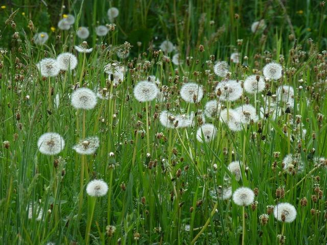 Dandelion grass nature, nature landscapes.