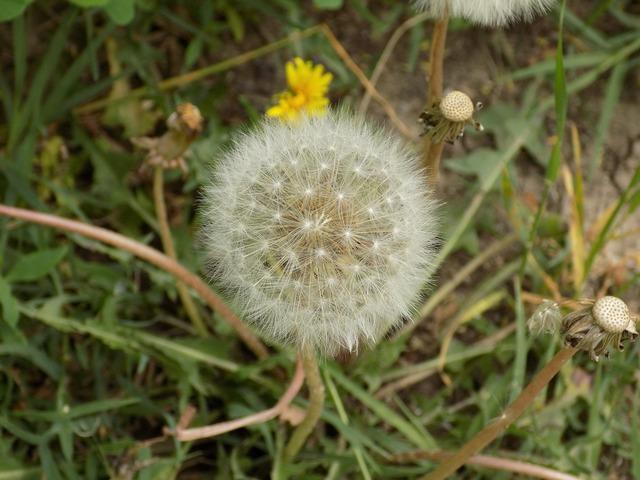 Dandelion nature closeup, nature landscapes.