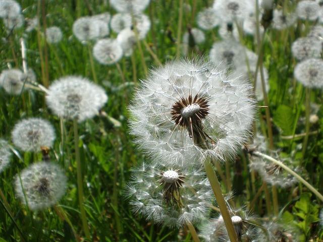 Dandelion plant seeds, nature landscapes.