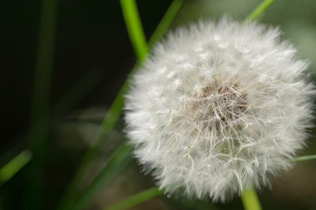 Dandelion seeds blossom, nature landscapes.