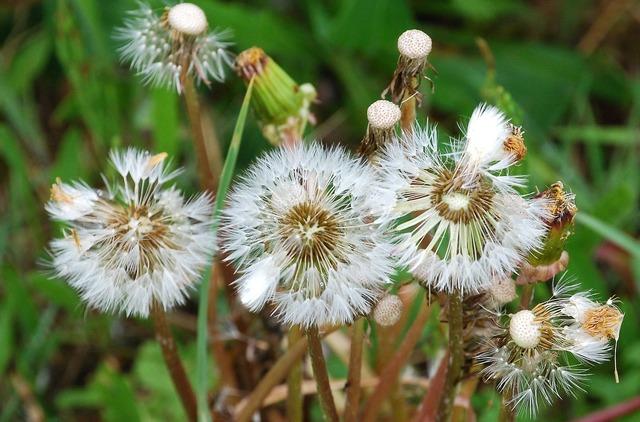 Dandelions seeds weed.