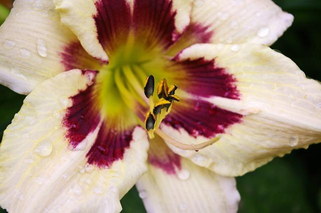Daylily blossom bloom, nature landscapes.