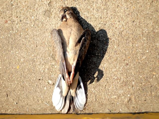 Dead bird dead dove dove, animals.