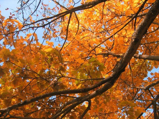 Deciduous tree golden autumn golden october, nature landscapes.
