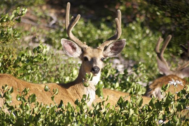 Deer bucks stag, animals.