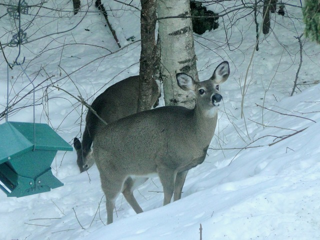 Deer winter backyard, nature landscapes.