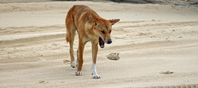 Dingo wild animal beach, travel vacation.