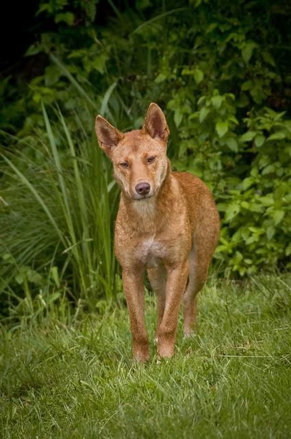 Dingo wild dog, animals.