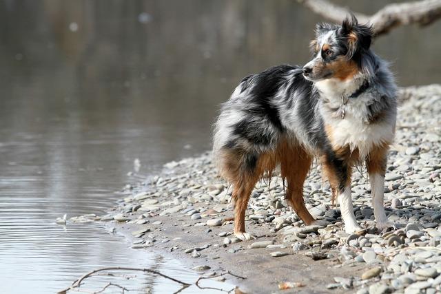 Dog australian shepherd canine, animals.