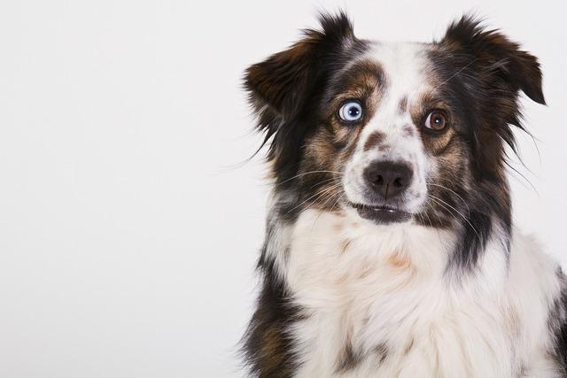 Dog australian shepherd portrait, animals.