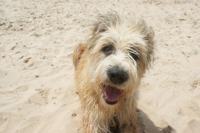 Dog barbado da terceira beach, animals.