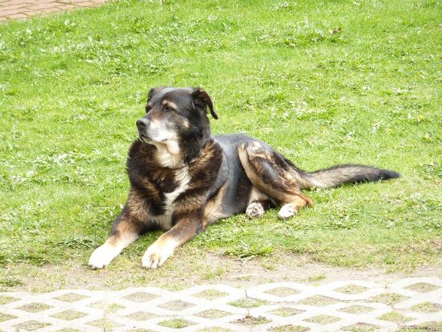 Dog bernese mountain, animals.