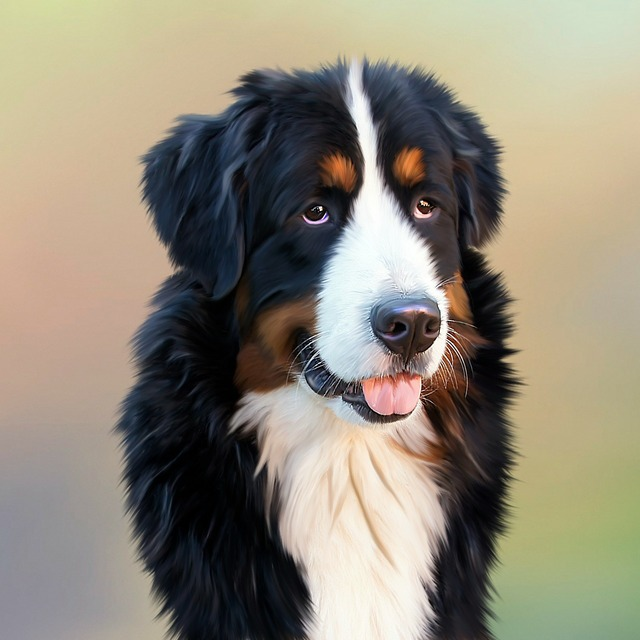 Dog bernese mountain dog berner, animals.