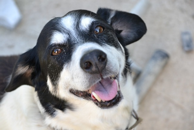 Dog black and white hybrid, animals.