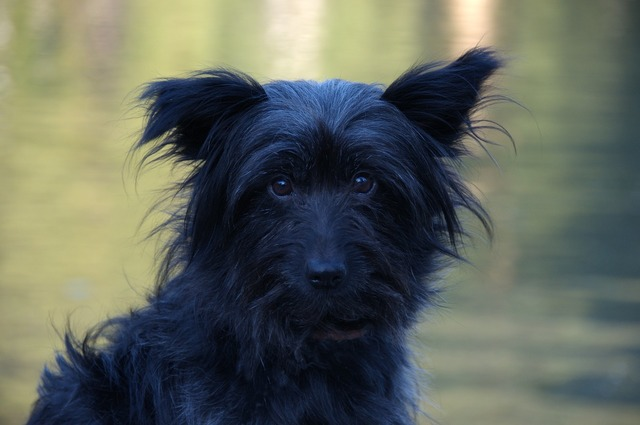 Dog black face, animals.