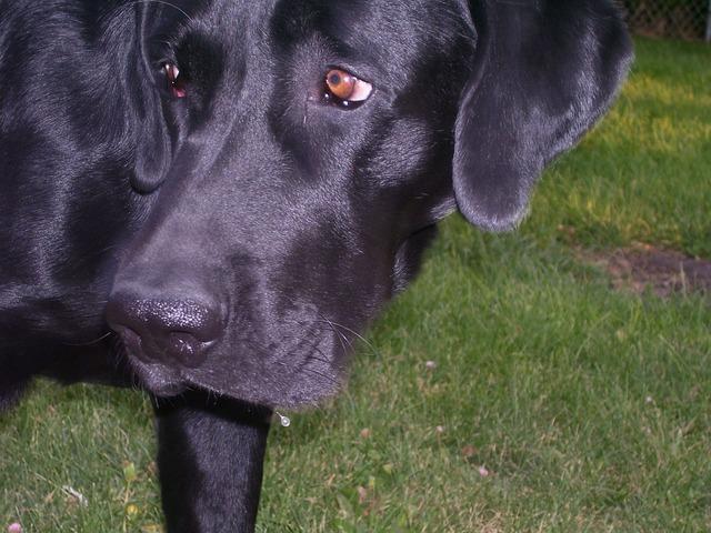 Dog black labrador, animals.