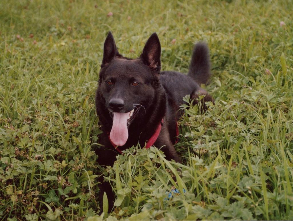 Dog black schäfer dog, animals.