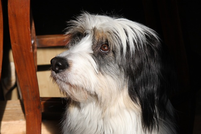 Dog black white, animals.