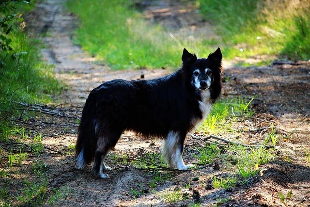 Dog border border collie, animals.