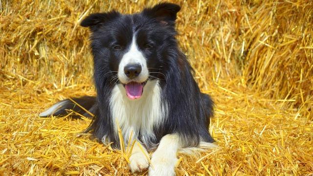 Dog border british sheepdog, animals.