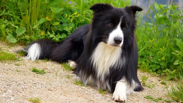 Dog border collie, animals.