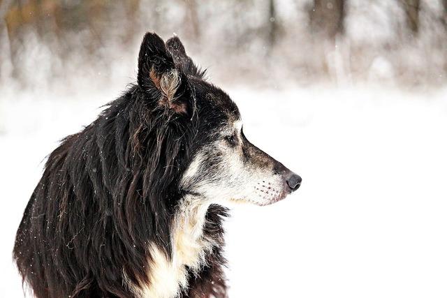 Dog border snow, animals.